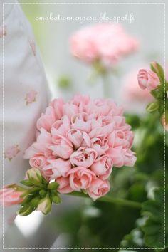 Mårbacka, pelargonia, kerrottu kukka