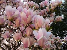 Japanese Magnolia 2.