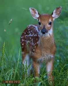 Pennsylvania Wildlife Photographer: Fawns, Woodchucks, and an Equipment Upgrade