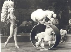 Let her balance on the wheel next time!!! Pink Elephants On Parade, Tea Cup Poodle, Pink Poodle, Dog Grooming, Ringling Brothers Circus, Vintage Circus Posters, Gypsy Living, Dog Stuff, Circus Performers