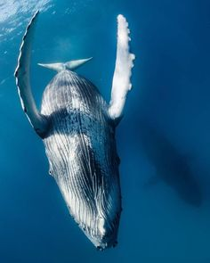 Friendly humpback whale 🐋 photograph by- Underwater Art, Underwater Creatures, Ocean Creatures, Save The Whales, Wale, Humpback Whale, Mundo Animal, Ocean Life, Marine Life