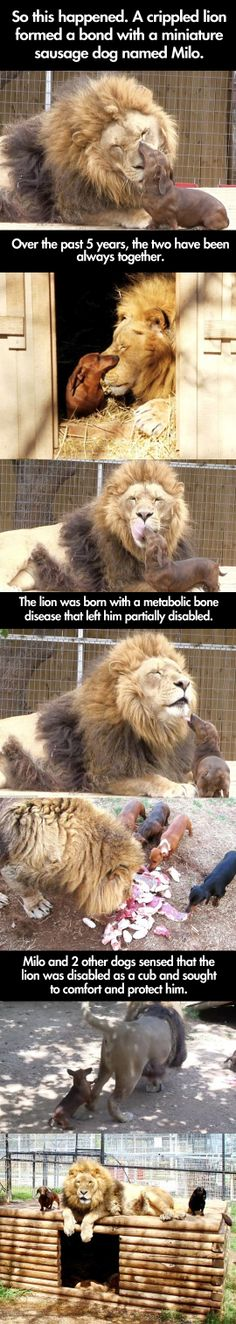 Lion forms an unlikely friendship with a much smaller animal named Milo.