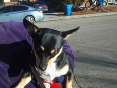PT 105 JAN 2014 A NAMPA IDAHO DOG I MET ON THE STREET. HE WAS A LITTLE CAUTIOUS.