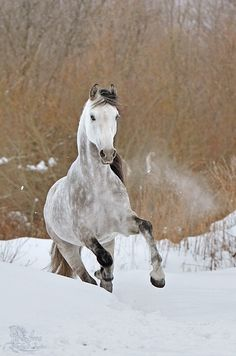 There are such a lot of horse breeds that it'd take a whole book to hide the topic. A breed for each purpose, horses are available in all shapes, colors, and sizes. Kathiyawadi Horse, Draft Horses, Horse Love, Horses In Snow, Wild Horses, Dapple Grey Horses, Campolina, Animals And Pets, Cute Animals