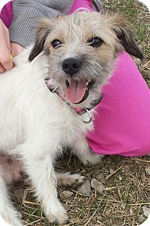 Overland Park, KS - Jack Russell Terrier/Shih Tzu Mix. Meet Lacey a Dog for Adoption.