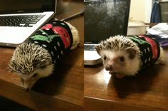 hedgehog in a sweater @bellisimo23 even more proof John is really a hedgehog