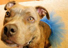 Pitlandia: DIY Dog Tutu Tutorial Fancy Dog Collars, Custom Dog Collars, Dog Tutu, Tutu Tutorial, Pet Costumes, Costume Ideas, Creative Costumes, Pit Bull Love, Dog Illustration