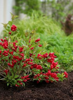 Enjoy these lipstick red blooms on your flowering shrub in spring, and again in fall. Sonic Bloom Red Weigela is hardy down to zone Flag Pole Landscaping, Cheap Landscaping Ideas, Landscaping Plants, Florida Landscaping, Preannual Flowers, Flower Pots, Planting Flowers, Garden Shrubs, Shade Garden