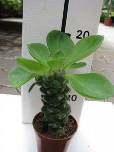 Euphorbia ritchiei