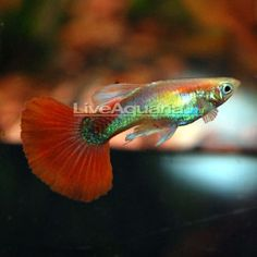 """Red Fire Guppy Minimum Tank Size: 20 gallons Care Level: Easy Temperament: Peaceful Water Conditions: 64-82° F, KH 10-30, pH 5.5-8.0 Max. Size: 2"""" Color Form: Black, Red, White, Yellow Diet: Omnivore Family: Poeciliidae"""