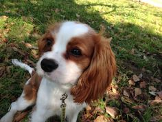 Cavalier In the park