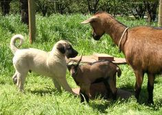 Some information about Anatolian Shepherd Dogs and Oberhasli Goats from Shepherds Rest Oberhasli and Anatolians - Newberg, Oregon. Anatolian Shepherd Puppies, Shepherd Dog, Puppies For Sale, Livestock, Predator, Dog Breeds, Maya, Horses, Friends