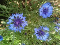 Denmark National Flower - Marguerite Daisy   Country's ...