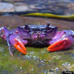 Purple Crabs discovered in Phillipines  These purple crabs were discovered not long ago by some marine biologists. They appear purple in color. They are a rare type of crab and will be extinct if the ocean water is not clean.