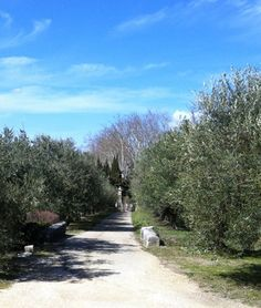 Olive trees in Baux de Provence