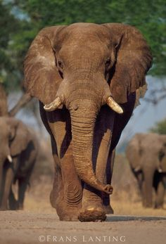 African elephant bull, Loxodonta africana, Chobe National Park, Botswana