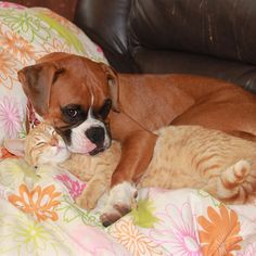 Boxer Lily & her cat..