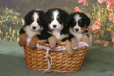 A basket of Bernese Mountain Dogs Bermese Mountain Dog, Cute Puppies, Dogs And Puppies, Pet Dogs, Dog Cat, Doggies, Entlebucher, Baby Animals, Cute Animals