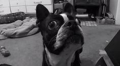 Do your Dogs Chase Flies? Watch this Googly Eyed Boston Terrier named Wilbert Looking for a Fly! ► http://www.bterrier.com/?p=28421 - https://www.facebook.com/bterrierdogs