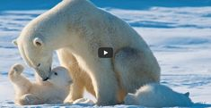 Polar Bears International, Bear Cubs, Interesting News, Cubs, Baby Bears