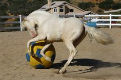 Andalusian, Lusitano, Horses with a ball