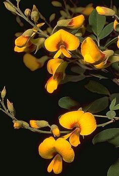 Golden Tip/Goodia lotifolia (Shrub) - Full Sun/Part Shade.