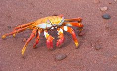 Sally Lightfoot crab on Ra'bida, Photo of Galapagos Islands - IgoUgo