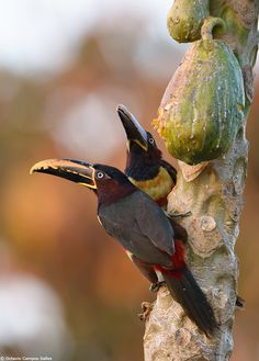 "earth-song:    ""Chestnut-eared Aracari "" by Octavio Campos Salles   A couple of Chestnut-eared Aracaris (Pteroglossus castanotis) visiting a papaya tree. These fruits are highly sought-after by frugivorous birds, and humans!    Photographed during one of my photo tours to the Pantanal last year. To know more about my tours please visit www.octaviosalles.com.br or facebook.com/CamposSallesTours"