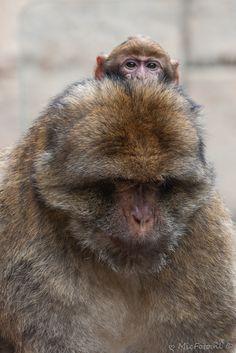 Berberapen; Tufik met baby op hoofd. #apenheul