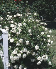hardy roses a practical guide to varieties and techniques