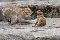 Berberapen Hoe gezellig!! #apenheul