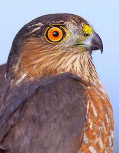 Sharp-shinned Hawk <3