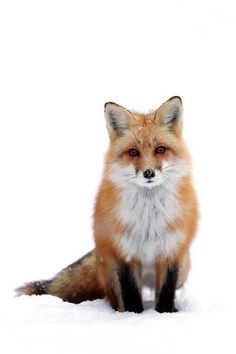 what does the fox say!
