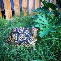 ♥ Pet Turtle ♥ One of the most beautiful leopard tortoises I've seen.