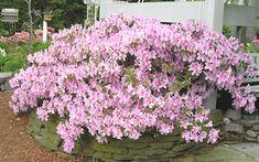 George Taber Southern Indica Azalea - 1 Gallon - Shrubs - Hedge & Background