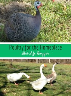 Poultry are not paltry on the homeplace. They each serve a purpose and are profitable.Poultry refers to a variety of domesticated birds that are raised for their meat and eggs. It includes chickens, turkeys, ducks, geese, and guineas. Plumage I think of