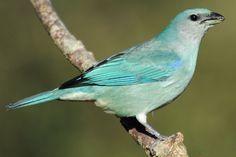 * Sanhaço-de-Encontro-Azul * (Thraupis cyanoptera).