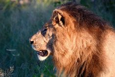 One of the Channel Boys, the dominant male lion coalition at DumaTau Chobe National Park, National Parks, Male Lion, Luxury Tents, Tour Operator, Tent Camping, Wilderness, Safari, Wildlife