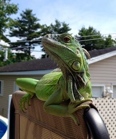 My green iguana & Green Iguana Pet Care Sheet and Guide ; Re pin if you got value http ...