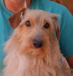Brady is a quiet-natured youngster who is most content when his surroundings are peaceful. He is an exceptionally attractive, blond & gold Longhair Dachshund mix, 2 years of age, a neutered boy, debuting for adoption today at Nevada SPCA (www.nevadaspca.org). Brady likes other calm dogs and needs regular brushing. He was at another shelter and needed our help due to a low-grade heart murmur. (Brady's veterinarian said no medication is needed, but recommends a leisurely lifestyle.)