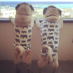 Pugs and Elephants ! Please follow @haleluana ! #pugsofinstagram #pug #pugs by…