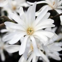 Star Magnolia - Magnolia stellata - The Garden Centre Group