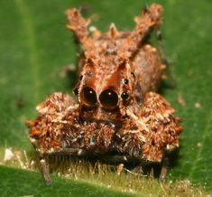 Portia spider