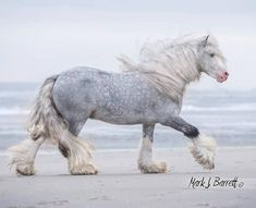 Big strong Dapple grey horse running on the beach. Beautiful Large Draft style, Gypsy Vanner?