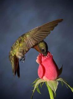 Hummingbird and rose.