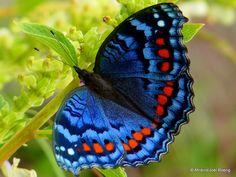 Mariposa Precis Octavia    Sur de África