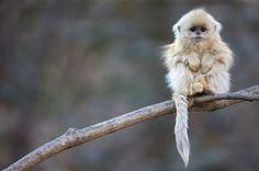 Chinese Golden Snub Nose monkey