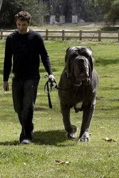Hercules an English Mastiff. Weighs 282 lbs Hercules an English Mastiff. Weighs 282 lbs Source by kathyheline Big Dogs, Large Dogs, I Love Dogs, Cute Dogs, Dogs And Puppies, Doggies, Giant Dogs, Funny Dogs, English Mastiffs