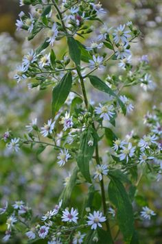 Prairie Moon Nursery :: Seeds :: Aster cordifolius (Heart-leaved Aster)