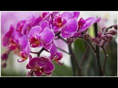 orchids They are known as the most demanding indoor plants, but at the same time they are so beautif Flower Garden, Flowers, Phalaenopsis, Rose Garden Design, Garden Design, Purple Orchids, Plants, Houseplants Decor, Tropical Flowers